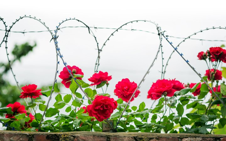 Flowers growing over barbed wire