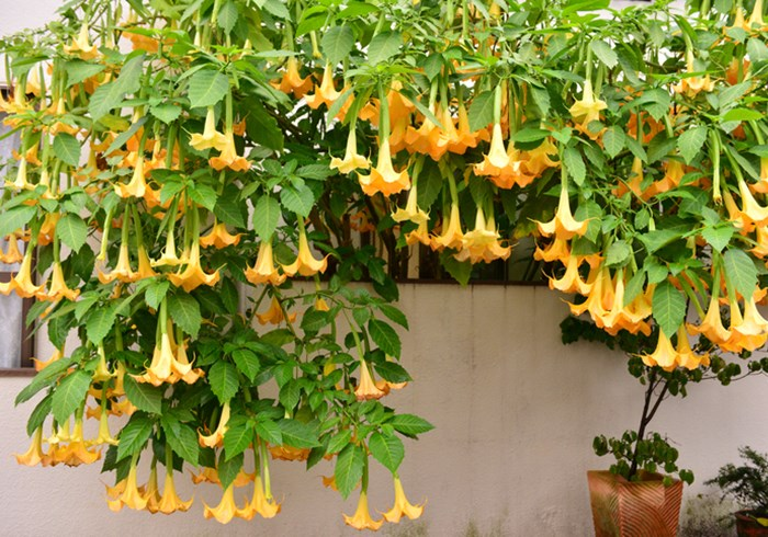 Brugmansia in full flower