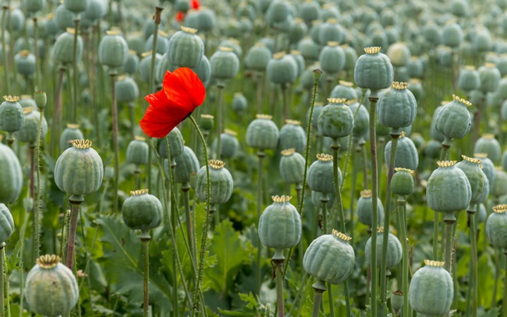 Image result for opium