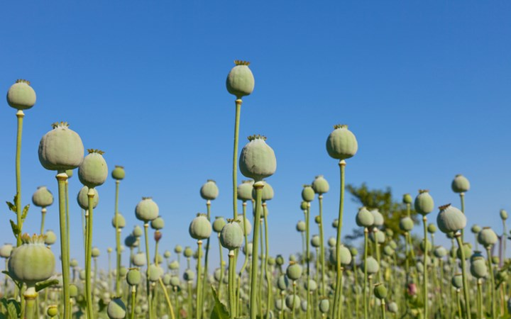 Green opium poppies in field with blue sky