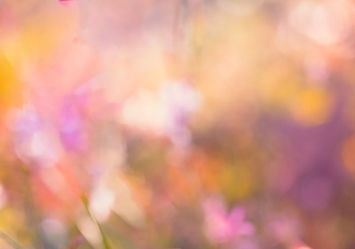 Dreamy Nature Background Of Soft Pink Bokeh From Garden Plants